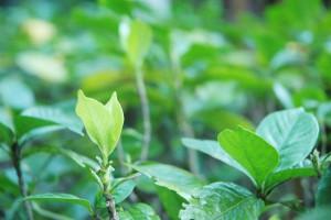 クチナシ(庭)